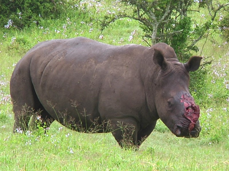 Thandi just after the poaching incident