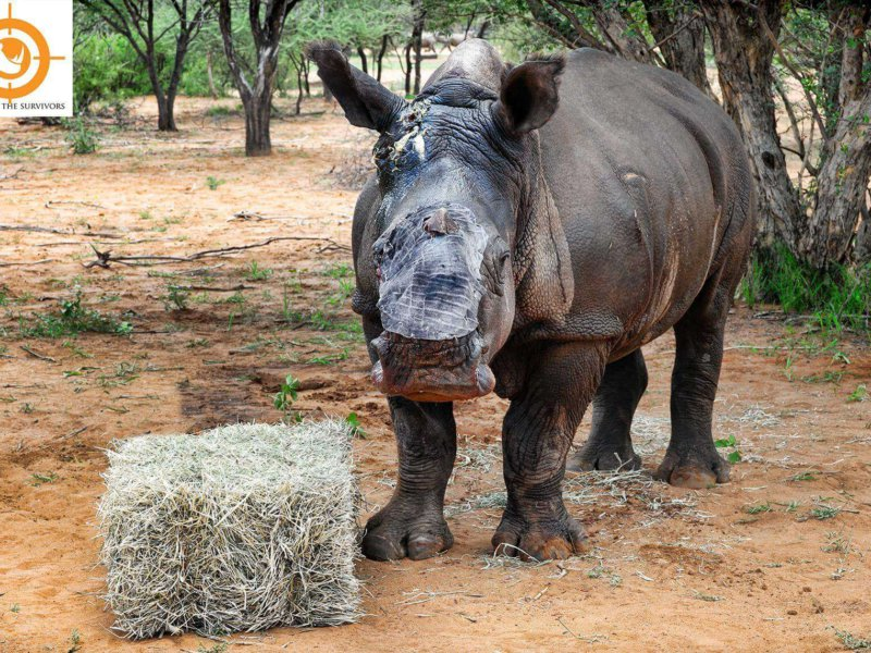 Vrystaat - a very brave little Rhino