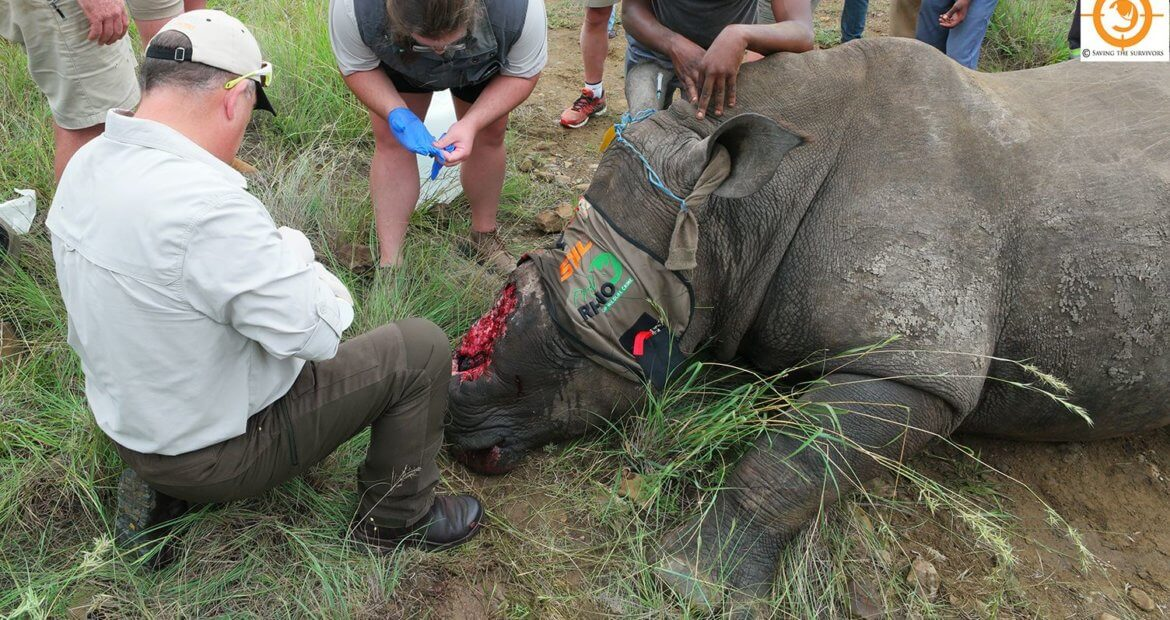 The Saving the Survivors team attending to a poached rhino © Saving the Survivors