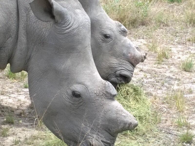 Saving Injured or Poached Rhinos and Wildlife - Saving the