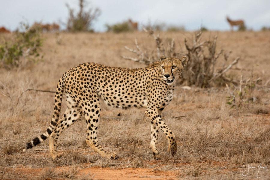 Graceful Cheetah Print