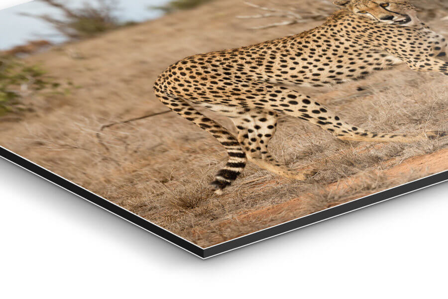 Cheetah Side