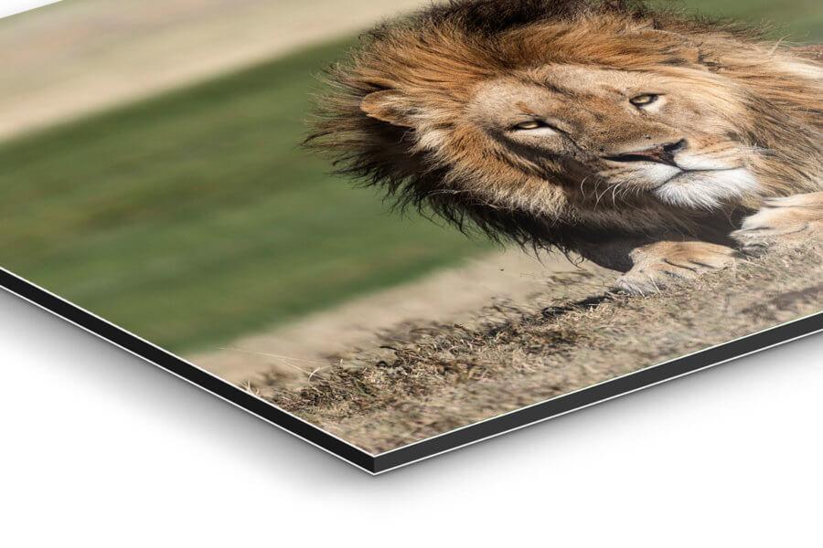 Majestic Lion Side