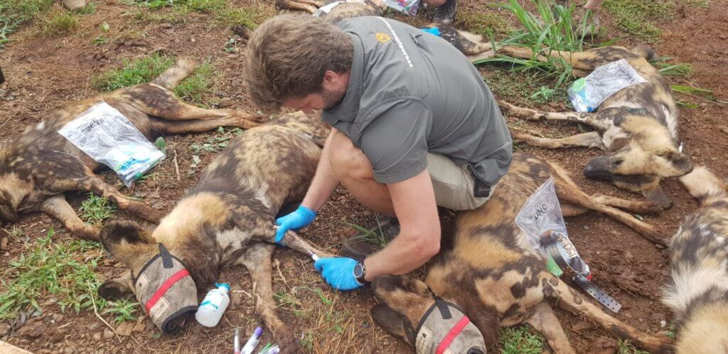 Dr Joao Treats Wild Dogs