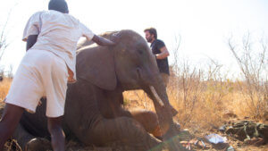 Elephant with leg snare