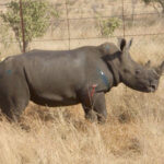 Rhino with bullet wounds